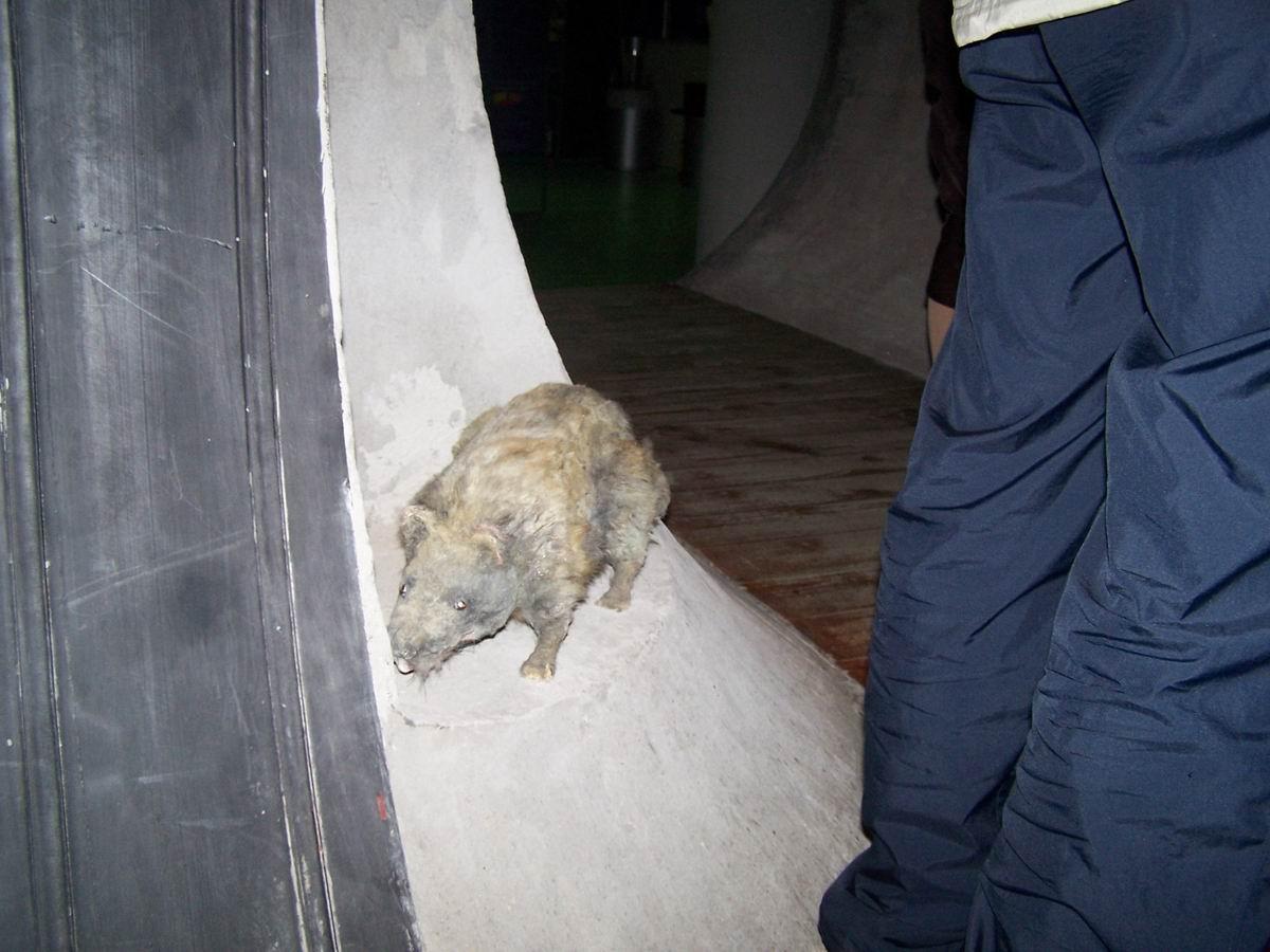 пацюк з каналізації