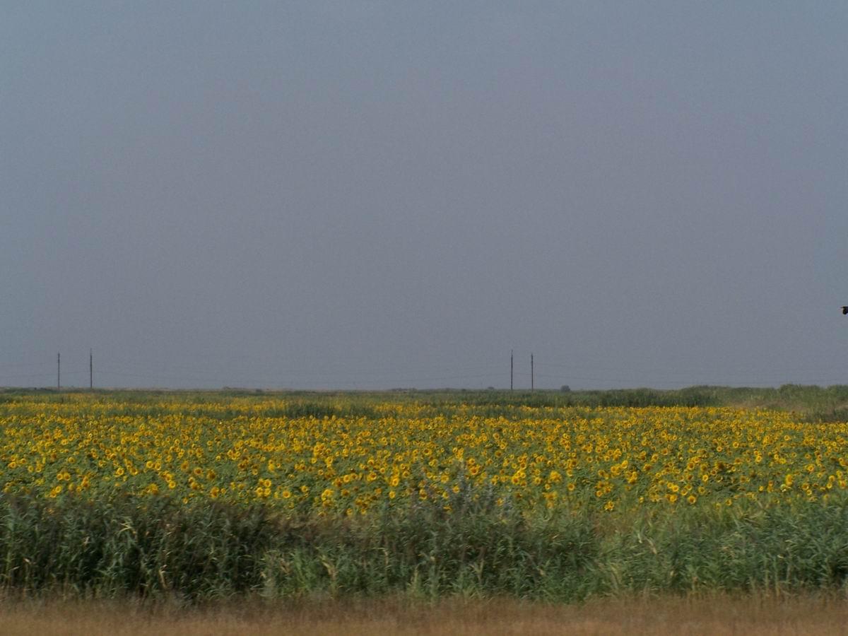 Соняшникові лани