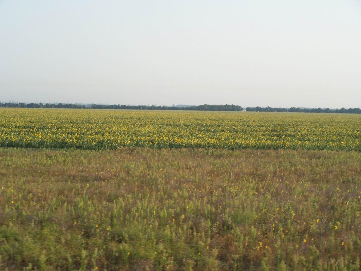 Соняшникові поля