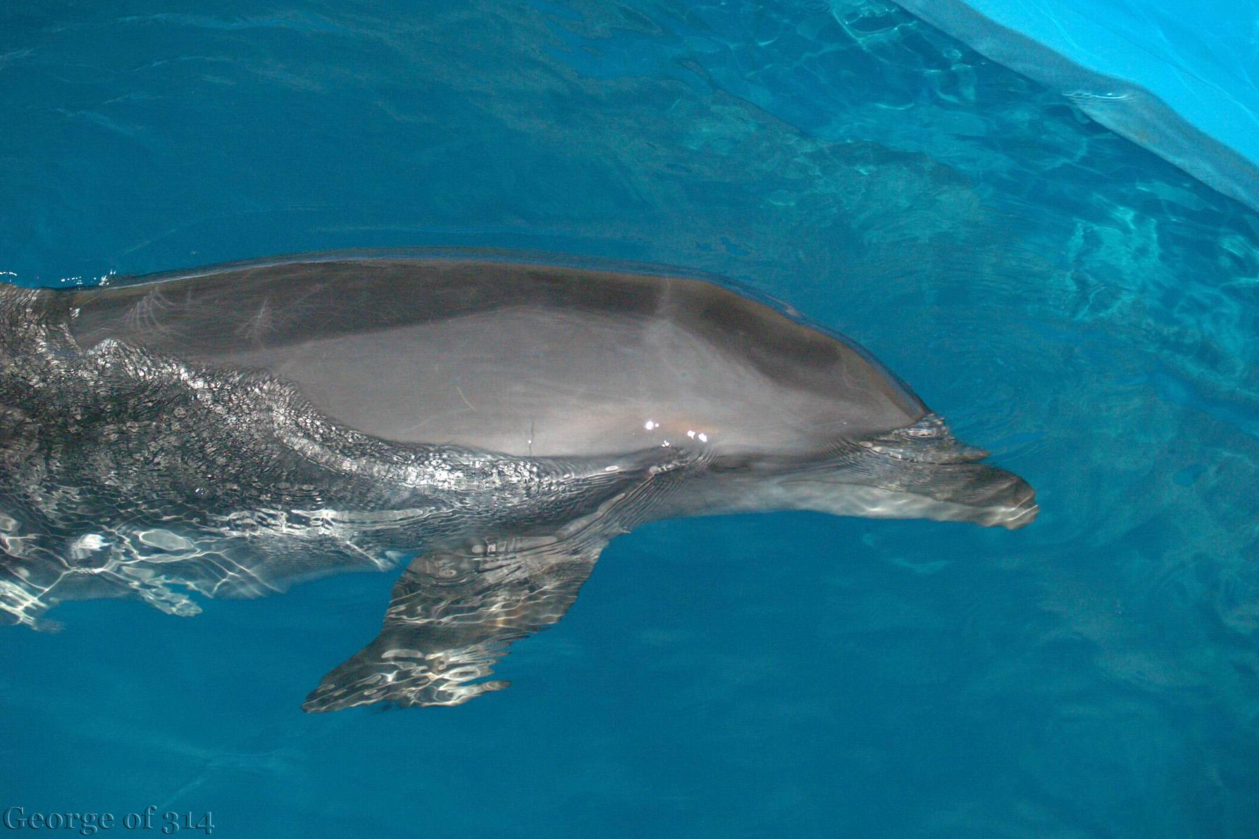 Дельфін у одеському дельфінарії