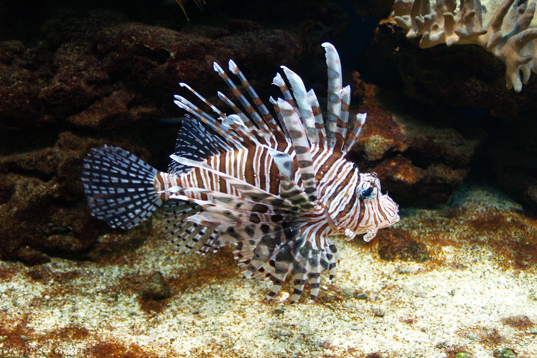 Риба-лев, океанаріум